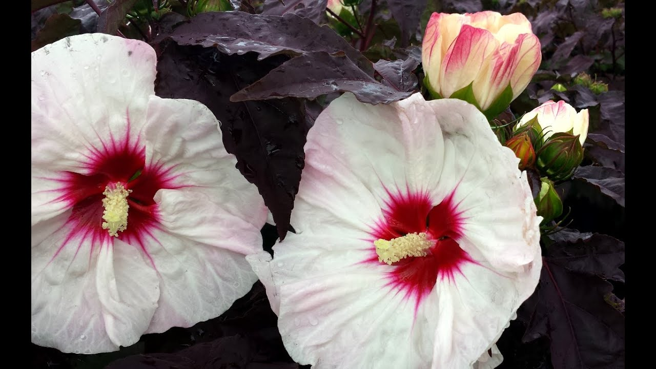 Best Perennials Hibiscus Crown Jewels Rose Mallow Youtube