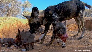 Rare footage of African Wild Dogs (Painted Wolves) returning to their den to feed puppies [4K GoPro]