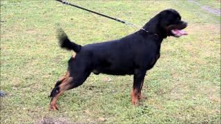 Rottweiler Ran (bass).23.month