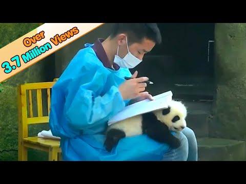 Cute panda baby 'becomes' nanny's table | iPanda