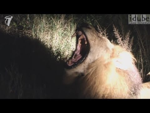 Magnificent Male Lion Yawning and Roaring in Africa