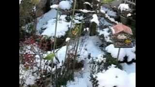 2013.1.15.昨日の大雪で餌を求めて今朝も6羽のワカケホンセイインコや野...