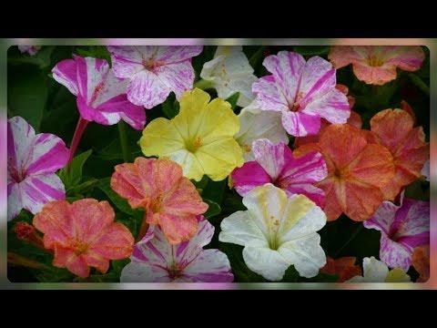 Красивые ночные цветы - Мирабилис