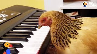 Patriotic Chicken Plays America the Beautiful on the Piano | The Dodo - HAPPY INDEPENDENCE DAY