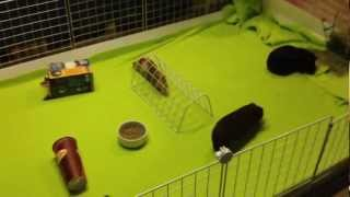 New Guinea Pig Cage