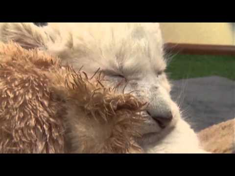 Rare White African Lion Cubs Born in Australia