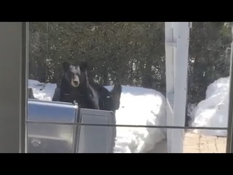 Four bears vs a barbecue