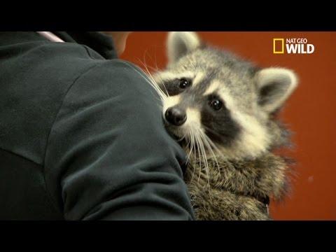 Un Raton-laveur Apprivoisé Chez Le Vétérinaire