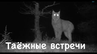 Встречи на Аяне / Photo trap. Animals of Siberia.
