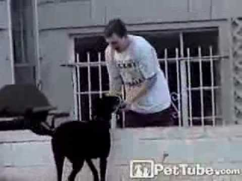 Labrador Receiver Wins the Game- PetTube