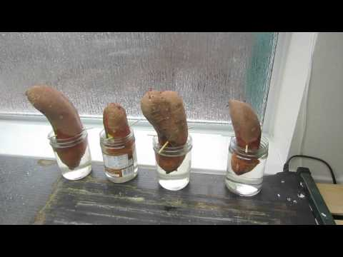 How To Grow Sweet Potato Slips Getting Started