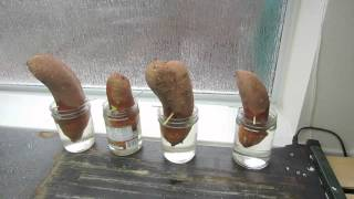 How To Grow Sweet Potato Slips: Getting Started