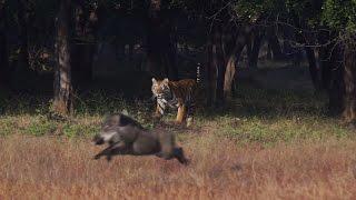 Tadoba Thriller - Tigers