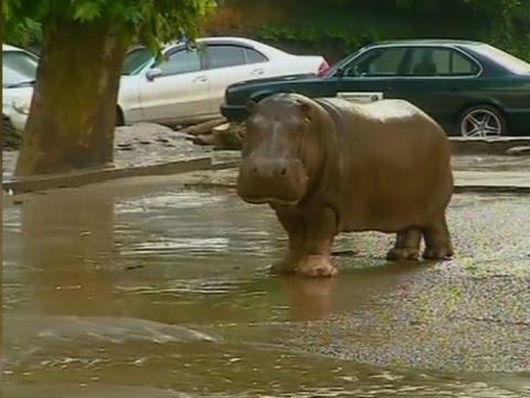 Raw: Deadly Flood Hits Georgia Zoo, Hippo Found
