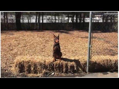 5 Month Old Doberman Pinscher 'Jagger' Before/After Video   Georgia's Best Doberman Dog Trainers
