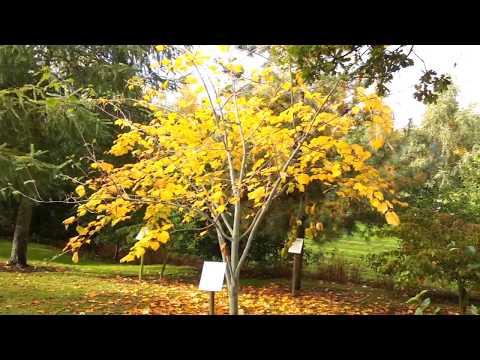 Acer tegmentosum (Snakebark Maple