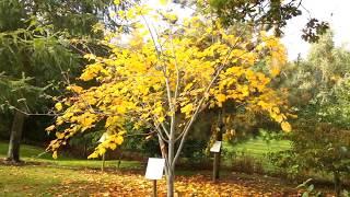 Acer tegmentosum video