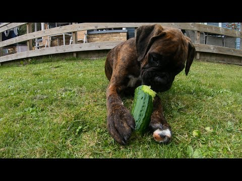 puppy-eat-cucumber-for-the-time!-adult-boxer-is-protective-of-food!-vegetarian-dogs
