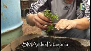 Cooking | Multiplicación de plantas de orégano