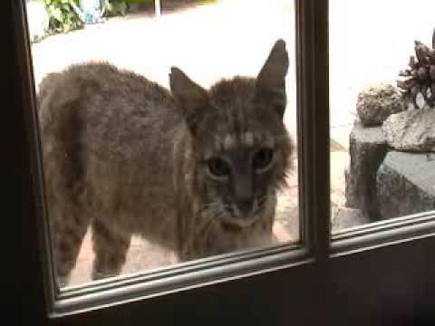 bobcat at backdoor