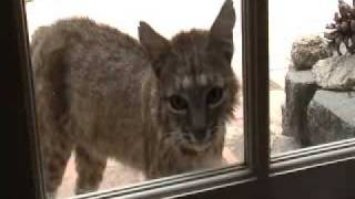 bobcat at backdoor