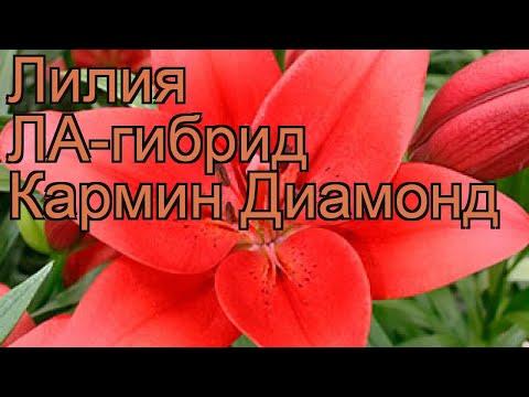 Лилия ла-гибрид Кармин Диамонд �� обзор: как сажать, луковицы лилии Кармин Диамонд