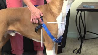 How to Fit and Use the PetSafe® Easy Walk® Harness