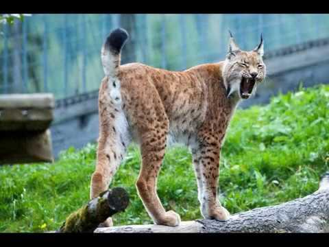 Вопрос: Какого зверя называют выдровой кошкой, почему?