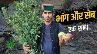 Apple & भांग In My Village Farm | Himachal Wala