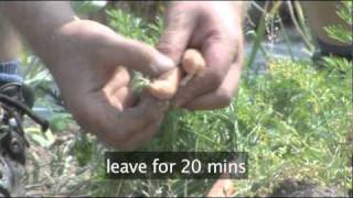 How To Harvest Carrots