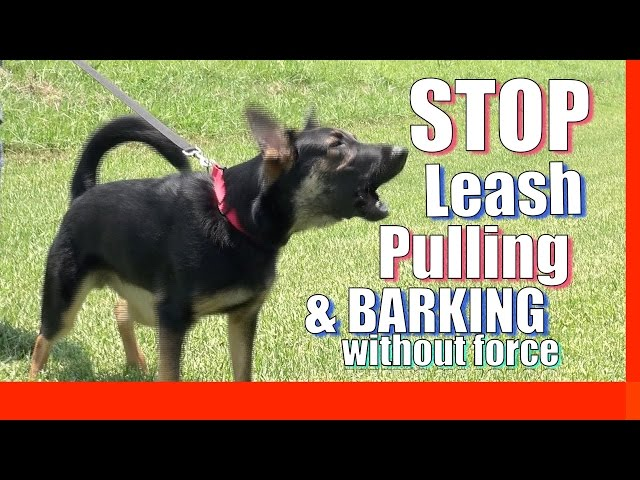 How to Train your Dog to Stop Pulling on Leash Without Force and Without Treats (Zeus the GSD)