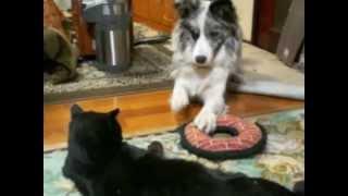 2歳の先輩猫に9カ月のボーダーコリーが遊びたくて仕方がない。猫は適...