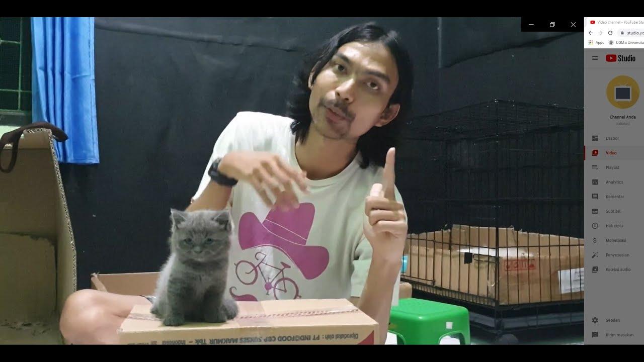 Ciri Ciri Anak Kucing Kitten British Shorthair Youtube