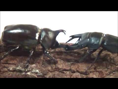 カブクワバトルムービー2 -Beetles' Battle MovieⅡ-