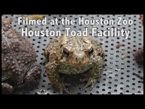 Houston Toad conservation