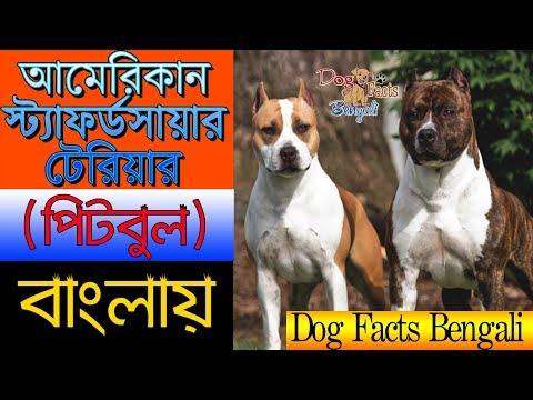 American staffordshire terrier dog facts in Bengali | Pitbull dog group | Dog Facts Bengali