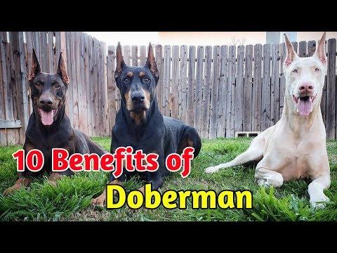10 Benefits of doberman  // in Hindi // benefit of doberman pinscher