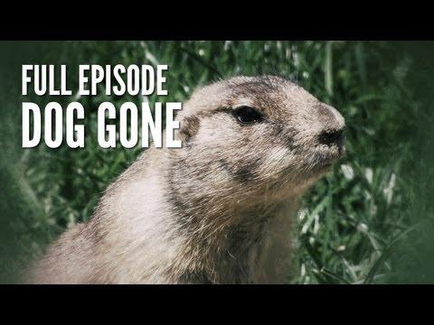 Prairie Dog Hunt  Dog Gone