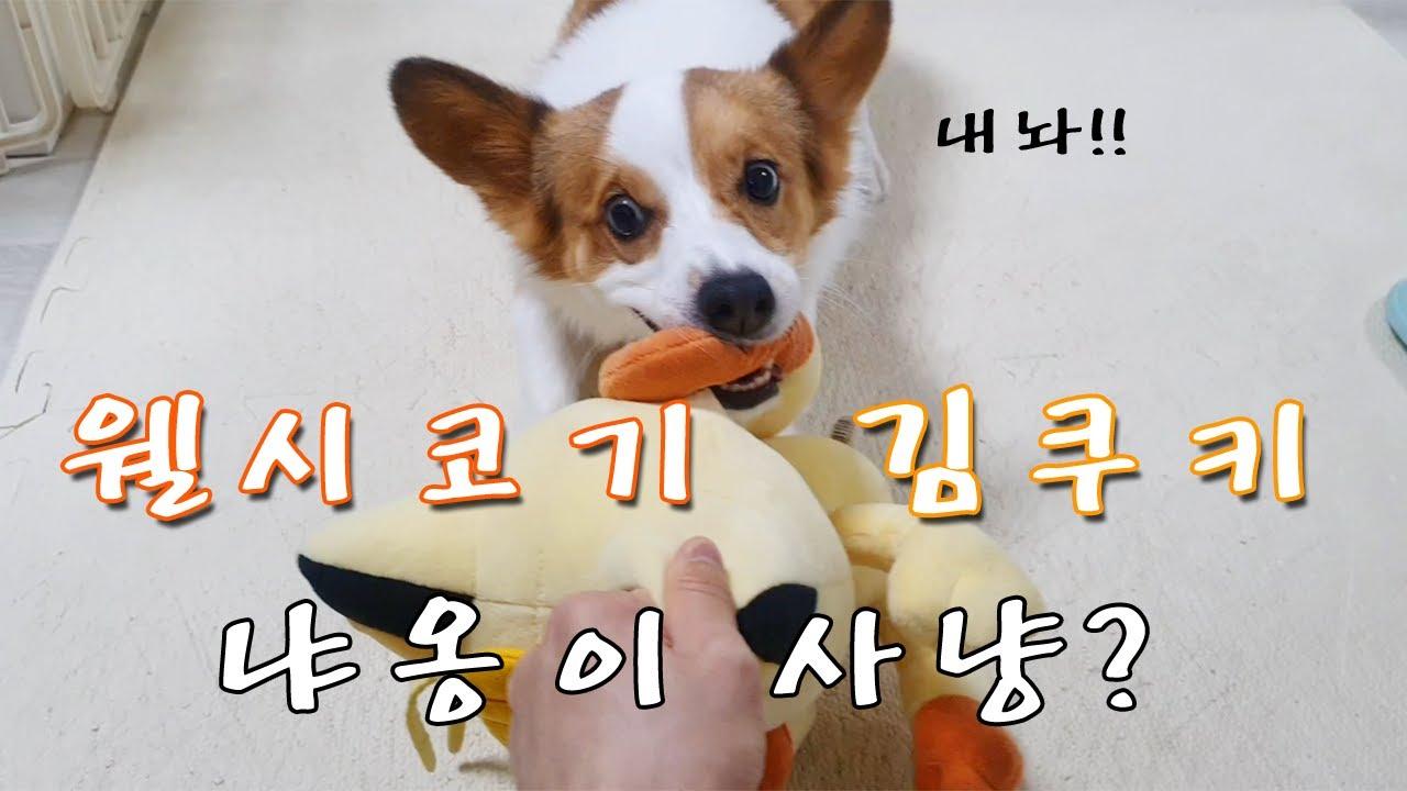 [핫바와쿠키] 냐옹이 사냥하는 웰시코기 2살 김쿠키 (Cute Welsh Corgi Puppy Video)