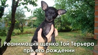 Реанимация щенка Той Терьера при его рождении. Resuscitation toy