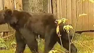 Жесть.медведь напал на женщину