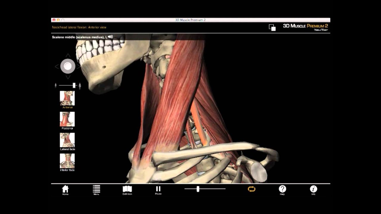 Lateral Neck Flexion And Scalenus Muscles With Muscle Premium Youtube