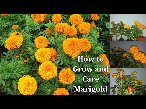 How to Grow and Care Marigold Flowers | Marigold More ...