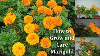 How to Grow and Care Marigold Flowers | Marigold More Blooming Tips // GREEN PLANTS