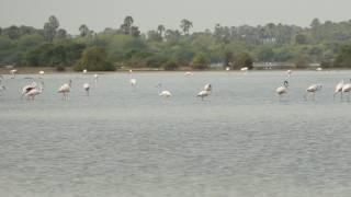 Greatar Flamingos thumbnail