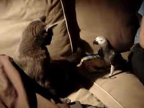Pepperoni – african grey parrot and cat playing