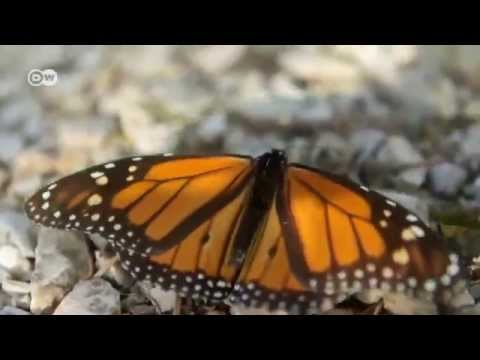 Mexico: The Myth of the Monarch Butterfly | Global 3000