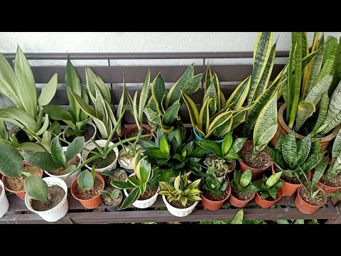 15 Types / Varieties of Sansevieria / Snake Plant With Names and Comparison