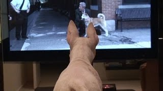 English Bull Terrier (barthebull)  Watches Hachiko. Funny!