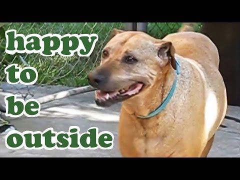rhodesian-ridgeback-shar-pei-mixed-breed-big-brown-friendly-dog-relaxing-outdoors-dogscircle-jazevox